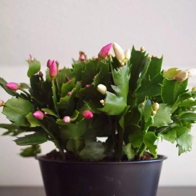 #Interieur | #Kerstcactus = #Woonplant van de #Maand #november - #wonen #groen #planten #bloemen #interieurblog #woonblog - www.stijlvolstyling.com
