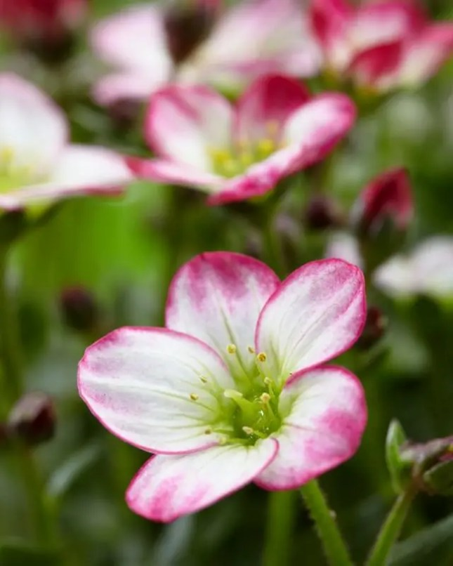 Saxifraga - muurbloem is tuinplant van de maand - Stijlvol Styling woonblog www.stijlvolstyling.com