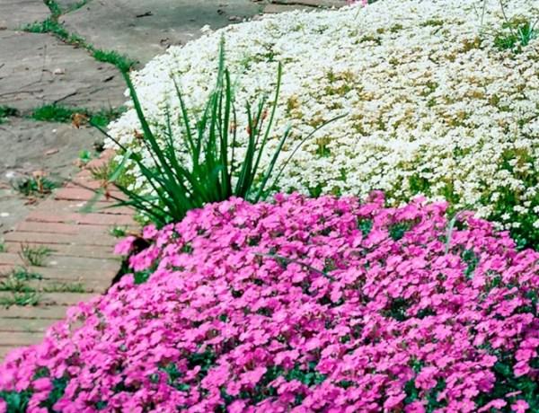 Aubrieta - muurbloem is tuinplant van de maand - Stijlvol Styling woonblog www.stijlvolstyling.com