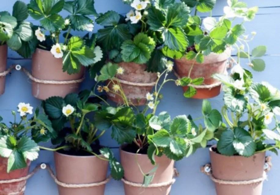 Buitenleven   Aardbei (Fragaria) = Tuinplant vd maand juni - Stijlvol Styling woonblog- www.stijjlvolstyling.com