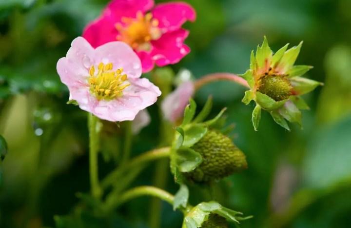 Buitenleven | Aardbei (Fragaria) = Tuinplant vd maand juni - Stijlvol Styling woonblog- www.stijlvolstyling.com