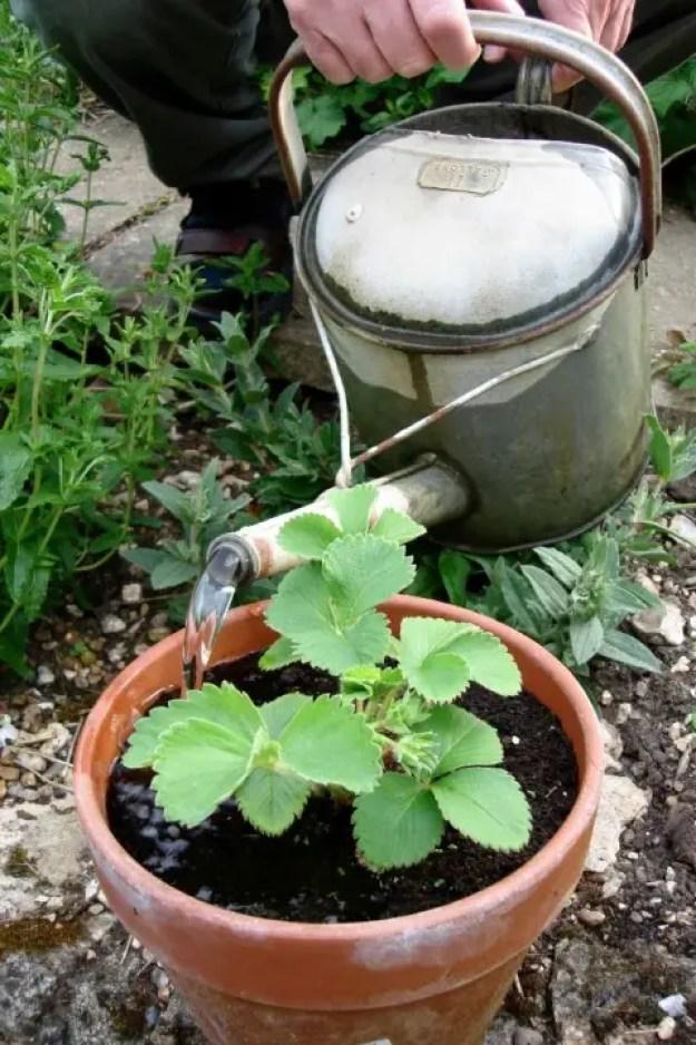 Buitenleven   Aardbei (Fragaria) = Tuinplant vd maand juni - Stijlvol Styling woonblog- www.stijlvolstyling.com