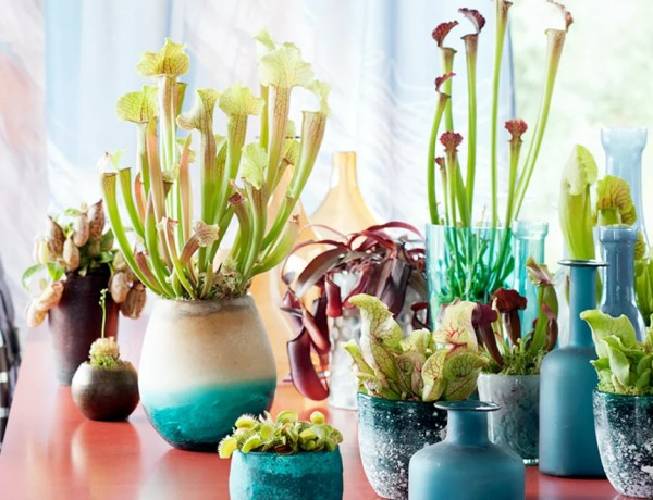 Groen wonen | Vleesetende plant = Woonplant vd Maand september - Stijlvol Styling woonblog www.stijlvolstyling.com