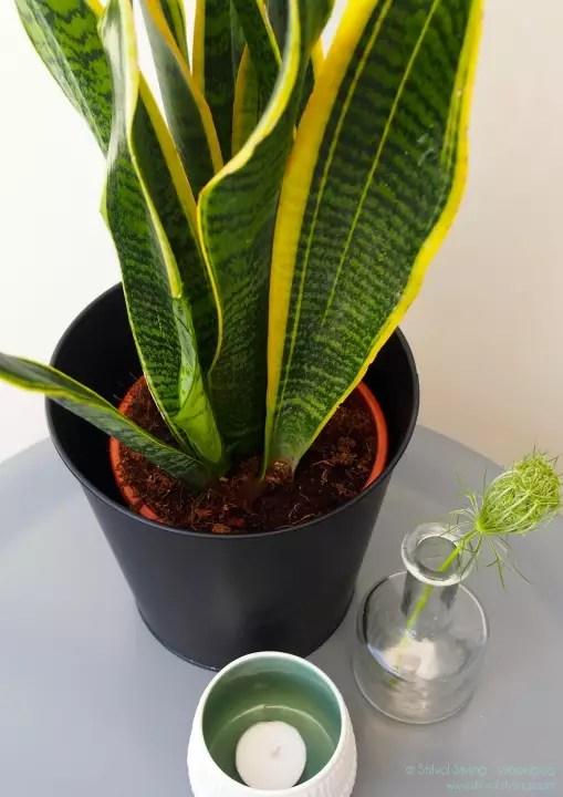 Groen wonen | Vrouwentong = Woonplant vd Maand augustus. - Stijlvol Styling woonblog www.stijlvolstyling.com