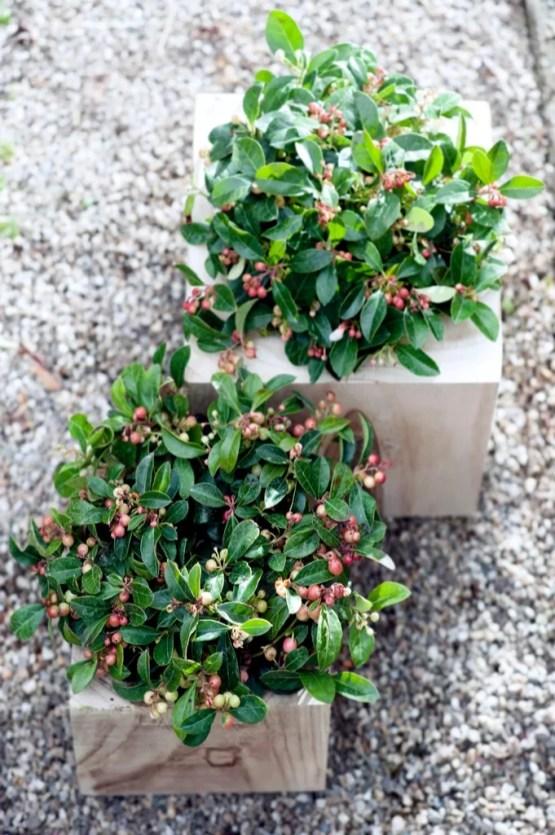 Bergthee in de herfst/ winter tuin   Buitenleven   9x de mooiste herfst tuinplanten - Woonblog StijlvolStyling.com