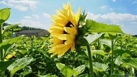 Groen wonen | Zonnebloemrally zet Zonnebloem op de (route)kaart - Woonblog StijlvolStyling.com
