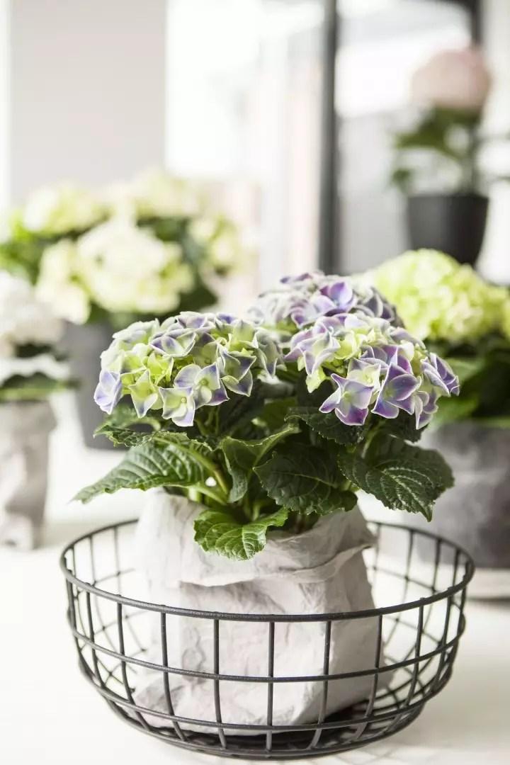 Groen wonen | Hortensia zorgt voor een kleur in jouw interieur - woonblog StijlvolStyling.com (Fotocredit: Hydrangeaworld)