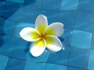balinesezwembadbloem[1]