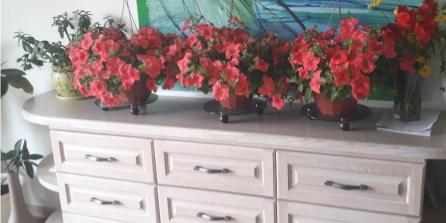 Vazoninės gėlės. Stikliniai padėkliukai