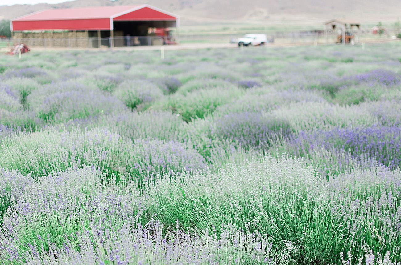 Young Living Lavender Farm, Mona, Utah (55)