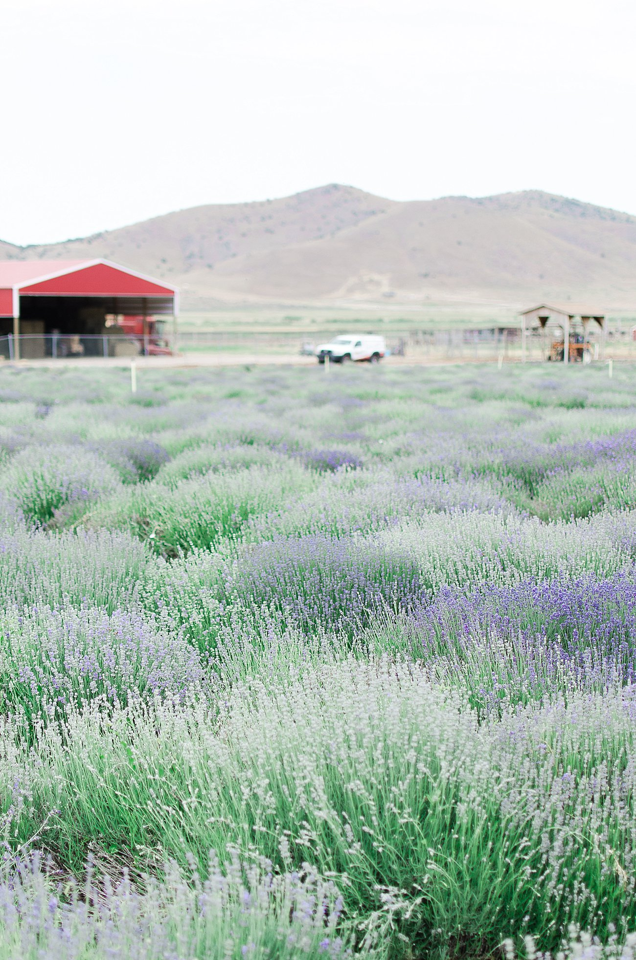 Young Living Lavender Farm, Mona, Utah (54)