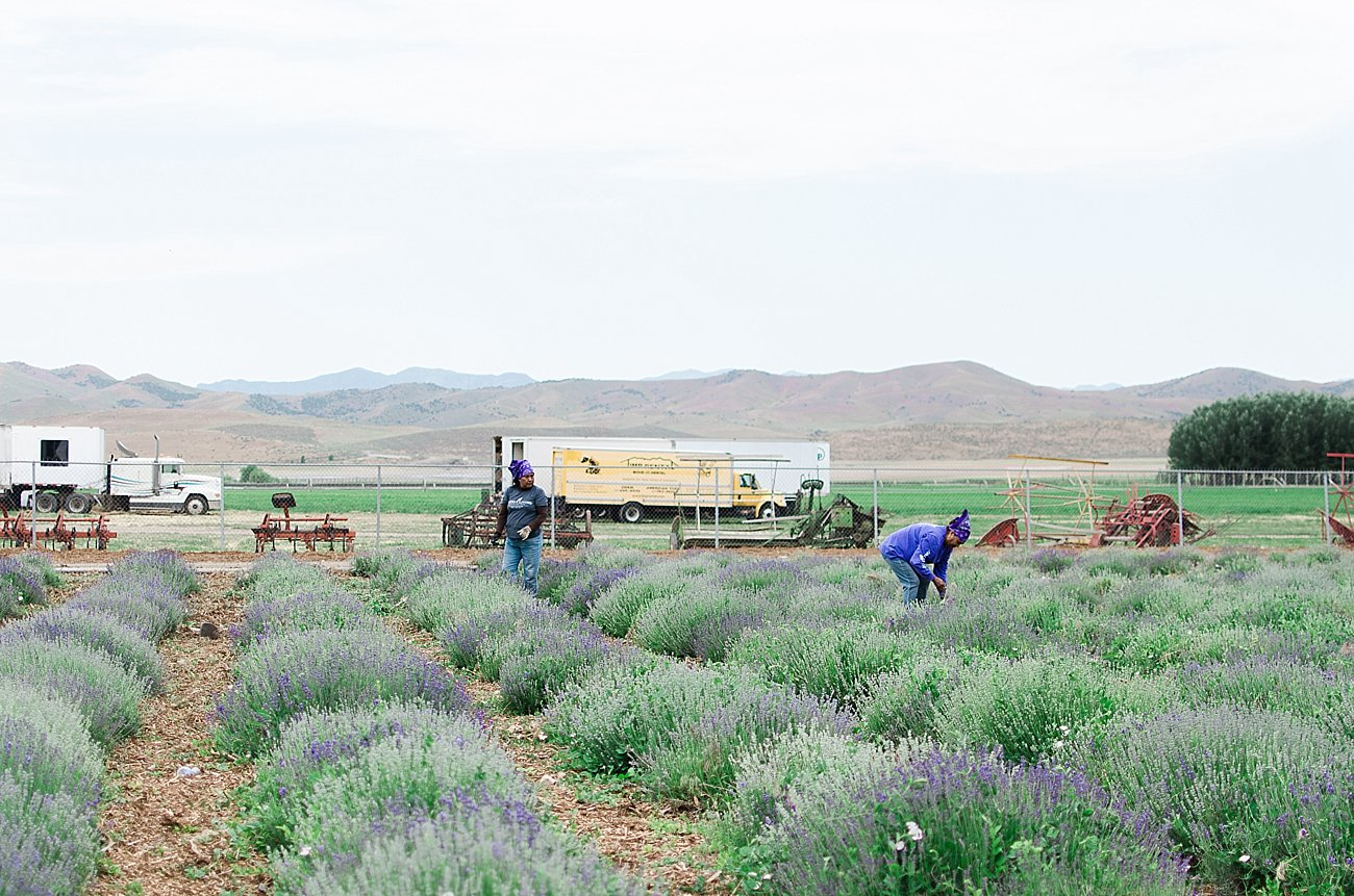 Young Living Lavender Farm, Mona, Utah (53)