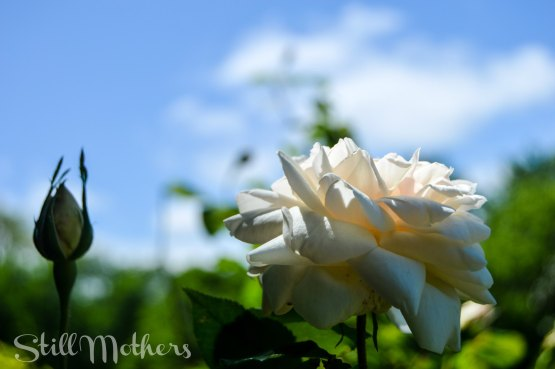 white rose, blue sky