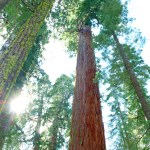 Calaveras Big Trees