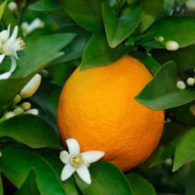 Orange Sweet Essential Oil Stillpoint Aromatics
