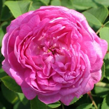 Rose Centifolia Organic Hydrosol Stillpoint Aromatics