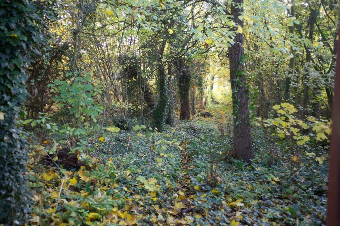 15 November 2012. Ivy along the forest lane.