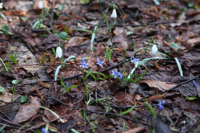 Slovenië, Sneeuwklokjes en Scilla bifolia. Foto Stinze Stiens, 28.03.2018.