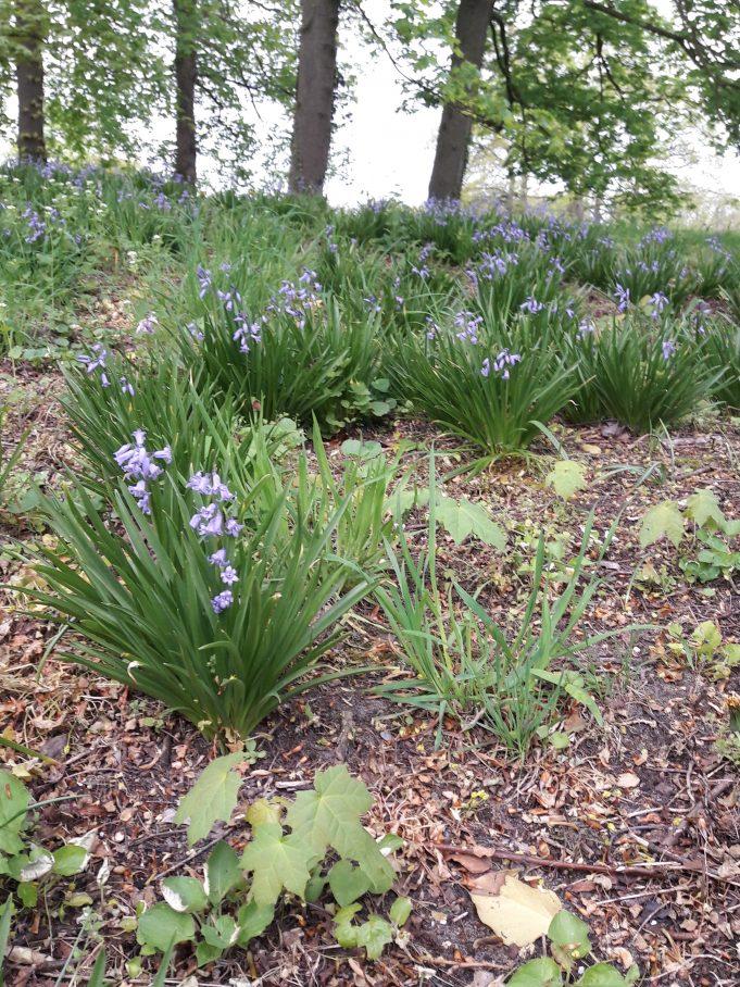 Wilde hyacinten op Hackfort.