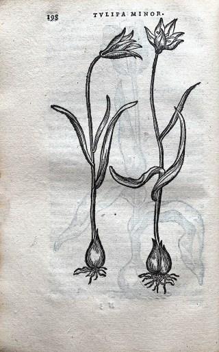 Dodonaeus, Florum et Coronarium, 1568.