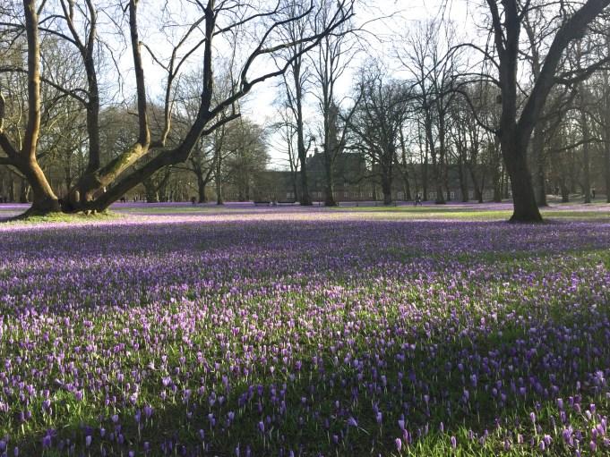 Crocus neglectus Husum Schlosspark