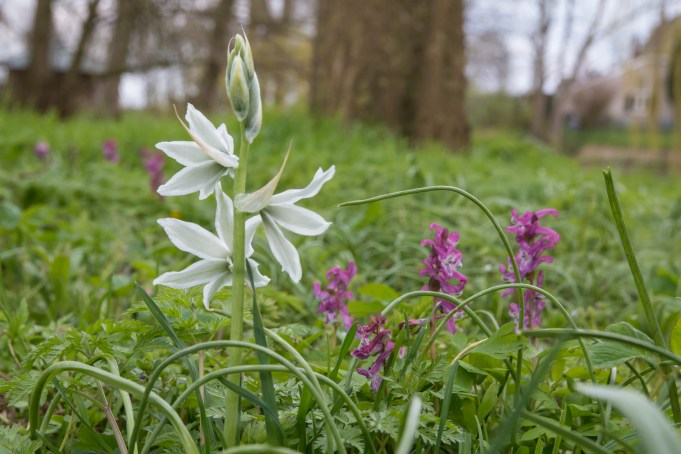 Drooping Star-of-Bethlehem and Bulbous Corydalis at Martenastate.