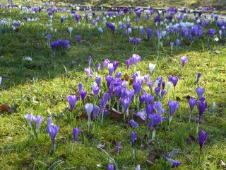 Dutch Crocuses and Snowdrops at the Schierstins.