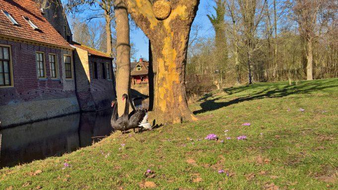 bonte krokus onder boom bij Dekema State, niet geplant, uitgepoept?