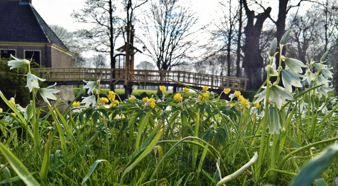 Yellow Anemones and Drooping Star-of-Bethlehem at Dekema State.
