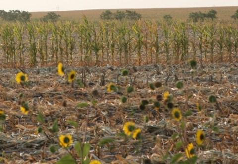 camp de floarea soarelui si porumb, seceta