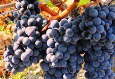 Merlot este unul din cele mai răspândite și populare soiuri de struguri și se cultivă în majoritatea regiunilor viticole din lume.