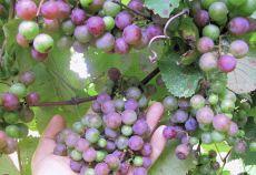 Primele date despre cultivarea soiului Catawba trimit către viticultorul John Adlum