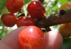 fructe ecologice
