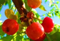 Sectorul pomicol din România are nevoie de o mai bună organizare, după modelul celui viticol, pentru a putea beneficia de o finanţare corespunzătoare