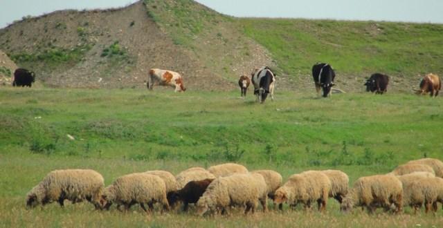 APIA a demarat controlul la faţa locului în exploataţiile de ovine şi caprine, pentru care au fost depuse cereri de solicitare a Plăţilor naţionale directe complementare, sector zootehnic, în anul 2013