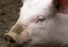 În luna mai 2013, atât numărul porcinelor sacrificate în unități industriale, cât și greutatea lor în carcasă s-a diminuat, comparative cu luna precedentă, potrivit datelor publicate de Institutul Național de Statistică (INS).