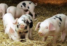 ferma de porci de carne