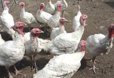 Ungaria analizeaza posibilitatea reducerii TVA la carnea de pasare si porc la 5%