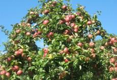 Pomicultura are mare tradiţie în ţara noastră şi deţine un loc important în agricultură. Principalele specii de pomi fructiferi cercetate au fost: meri, peri, caişi, piersici şi nectarini. Regiunile Sud - Muntenia şi Nord - Vest deţin peste jumătate din suprafaţa livezilor, potrivit cercetării statistice privind potenţialul productiv al plantaţiilor pomicole şi al plantaţiilor viticole destinate producţiei de struguri de masă, în anul 2012, realizată de Institutul Național de Statistică (INS).