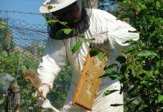 România produce circa 3.000 de tone de miere ecologică, din care aproximativ 70% este exportată, potrivit președintelui Asociației Crescătorilor de Albine (ACA).