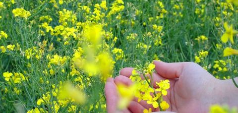 La rapița de primăvară, prin aport de fertilizatori, chiar și în condițiile unui semănat târziu se pot atinge 2,5 tone/hectar.