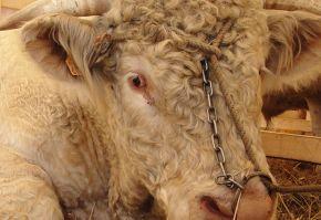 Subventia pentru bovine
