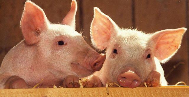 export porc