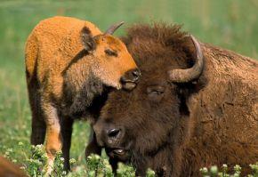 ferma de bizoni