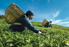 plantatie de ceai
