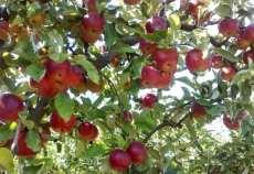 mere-vanzare-vaslui