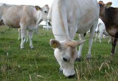 bovine pentru lapte