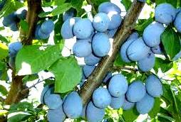 prune-bistritene
