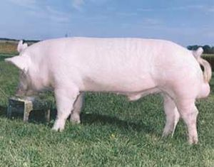 rasa de porci marele alb