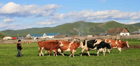 sacrificarile-de-bovine-si-productia-de-carne-in-august-2913-640x330